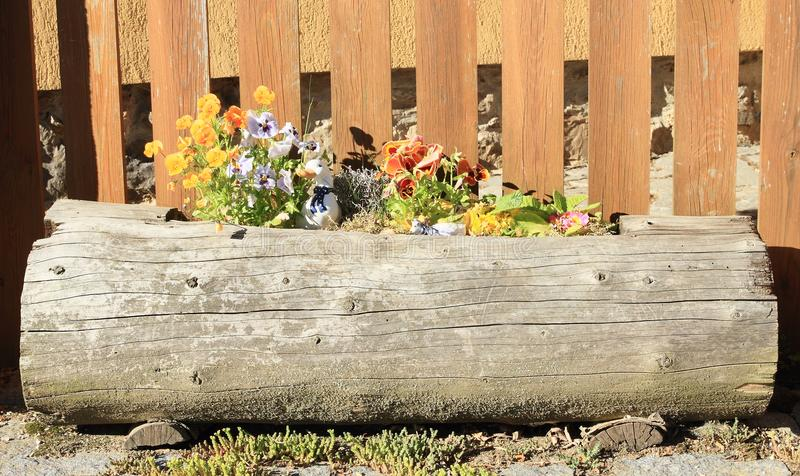 Wooden flowerpot with flowers. Old wooden flowerpot made from trunk with flowers in front of plank fence royalty free stock images