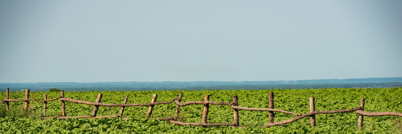 Wooden old fence in a field of young sunflowers on a sunny day royalty free stock photo