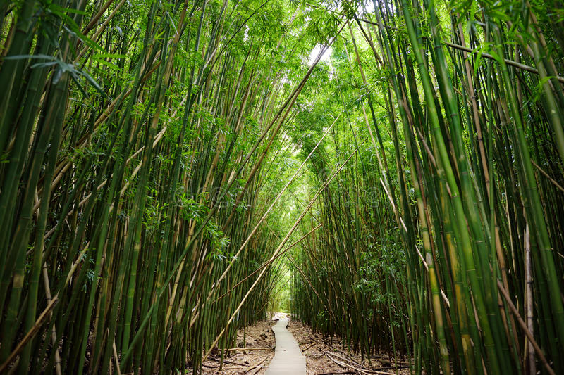 Wooden path through dense bamboo forest, leading to famous Waimoku Falls. Popular Pipiwai trail in Haleakala National Park on Maui stock photo