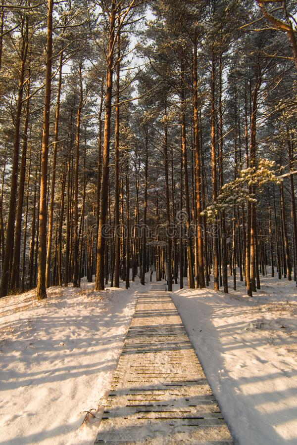 Wooden path in pine forest with snow, winter sunny day, selective focus.  royalty free stock photos