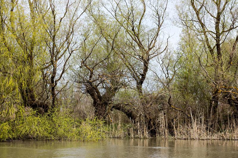 Wooden pier on the Danube River. Spring on Danube river. Flooded trees in the green meadow over the banks of the Danube river in early spring. Danube natural stock image