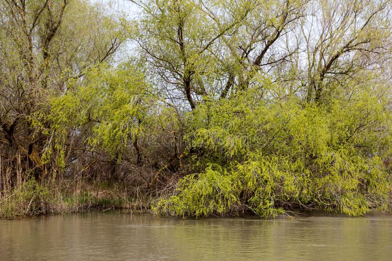 Wooden pier on the Danube River. Spring on Danube river. Flooded trees in the green meadow over the banks of the Danube river in early spring. Danube natural royalty free stock image