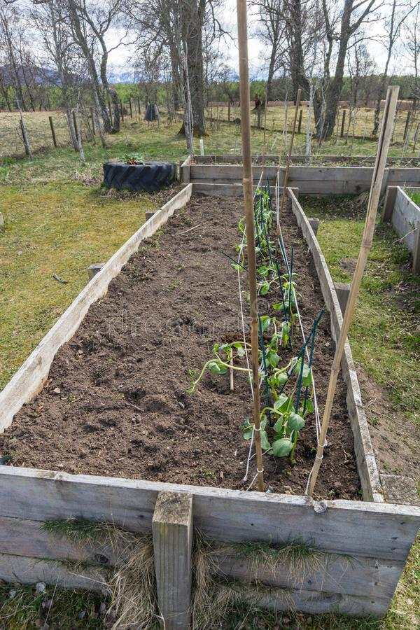 Raised beds growing beans in a rural setting stock image