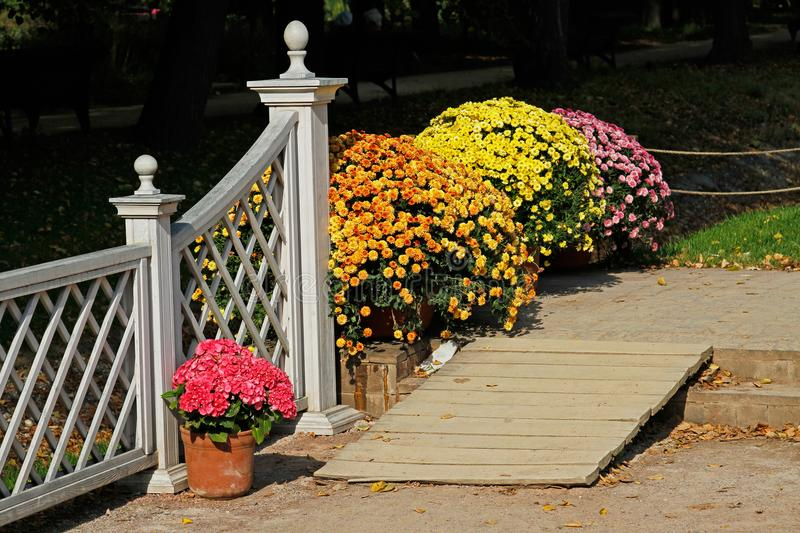 Wooden ramp, pink hydrangea and colorful chrysanthemums in the pots stock photo