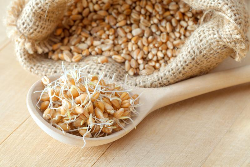 Wooden spoon of sprouted wheat seeds and sack of grains. stock images