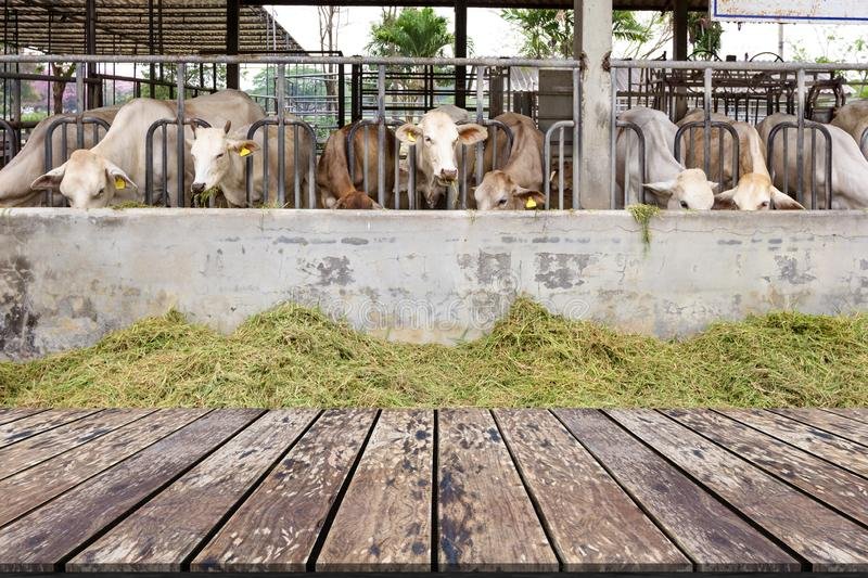 Wooden Table with Beef Cattle Cow Livestock in Farm background stock photos