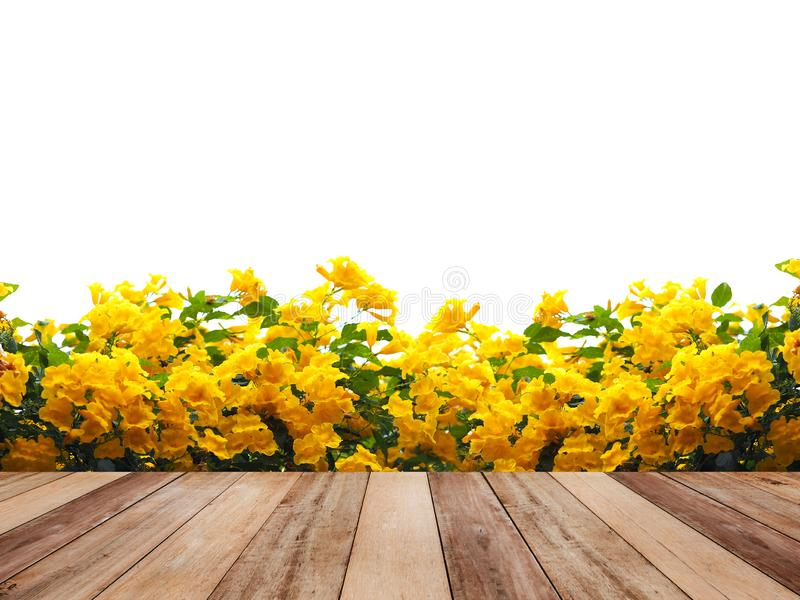 Wooden table top over Yellow elder or Trumpetbush flowers. And green leaves isolated on white. background. Montage style to display the product stock image