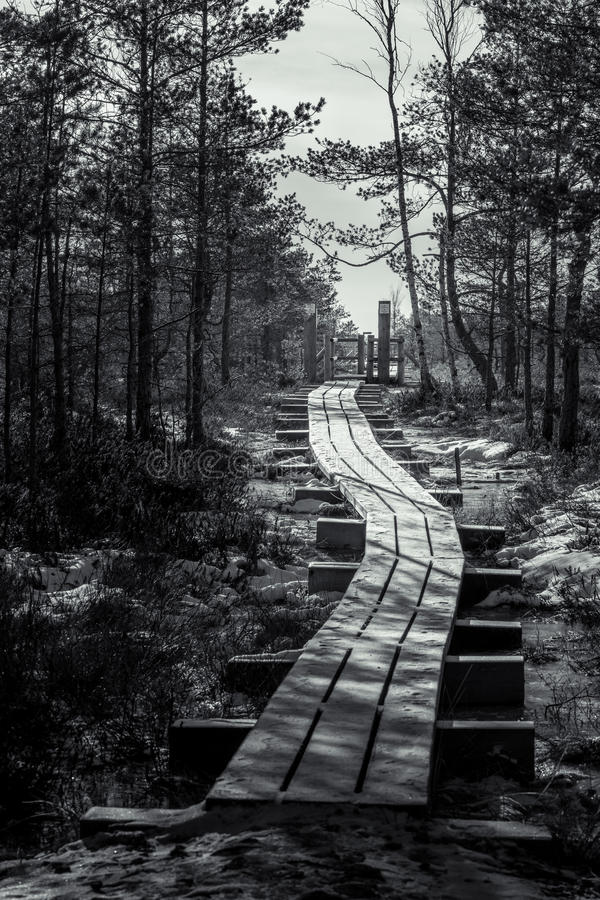 Wooden trail leading through a frozen bog in Latvia. Surrounded by junipers and pines. Bog is covered with ice and snow in a sunny weather stock images