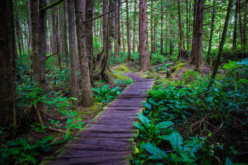 Wooden trail in a temperate rainforest to Shi Shi Beach. Quiet wooden trail in the middle of a dense temperate rainforest on the way to Shi Shi Beach in Olympic stock image