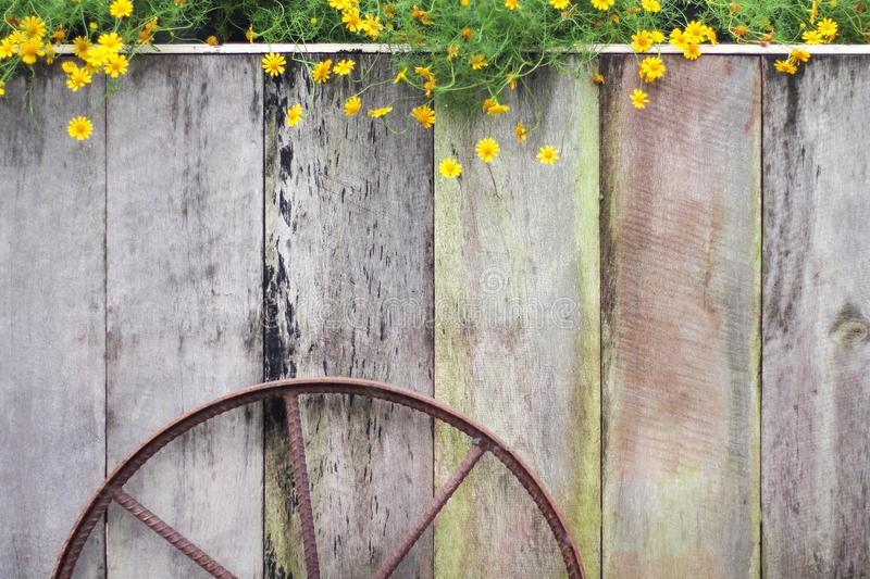 Wooden in vertical design with rusty steel wheel and colorful yellow singapore dailsy flowers blooming group, space for text stock photo