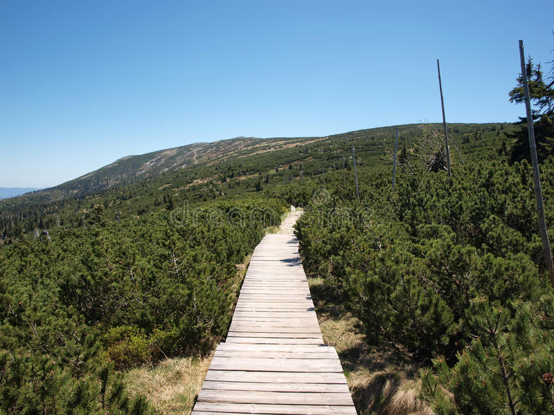 Wooden walking path. Among young pine tree royalty free stock image