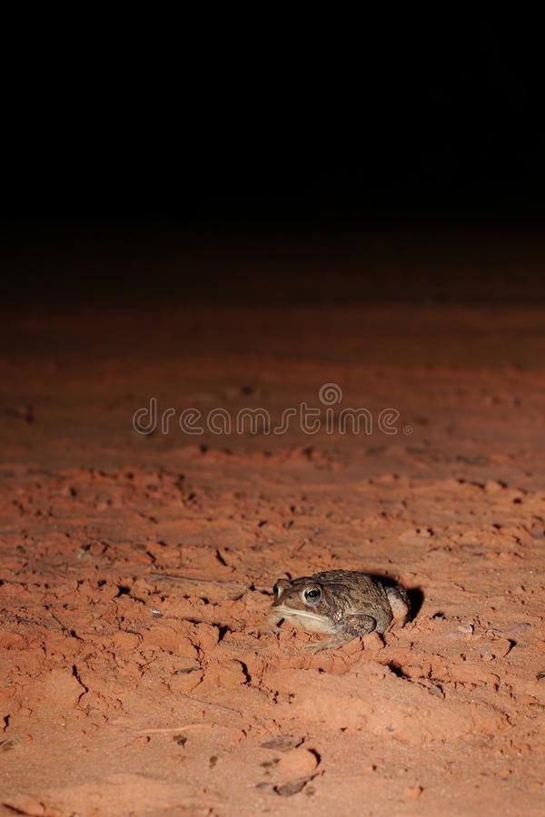 Woodhouse's toad. Bufo woodhousii (Woodhouse's toad) is a medium-sized true toad native to the United States and Mexico royalty free stock images