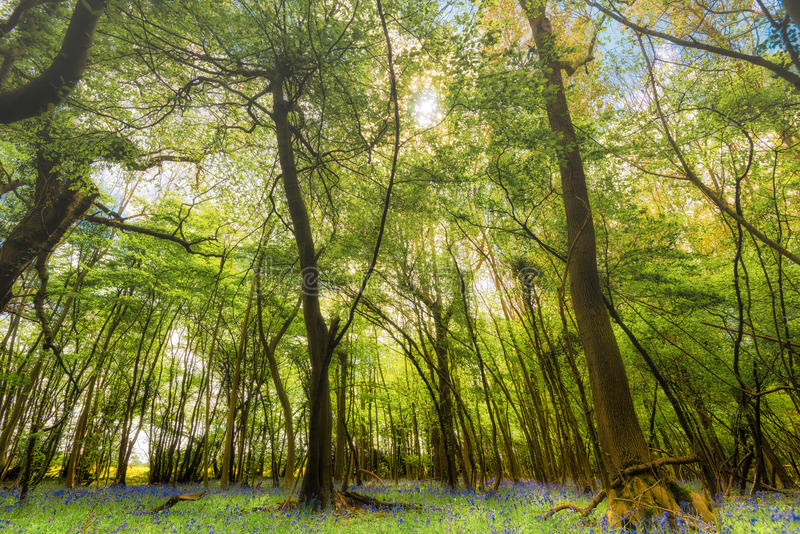 Woodland With Bluebell Carpet stock image