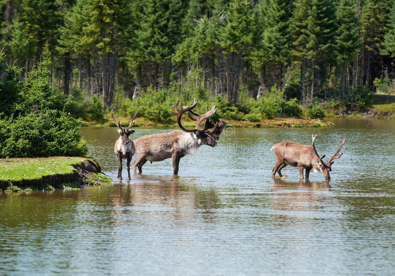 Woodland caribou in a natural setting
