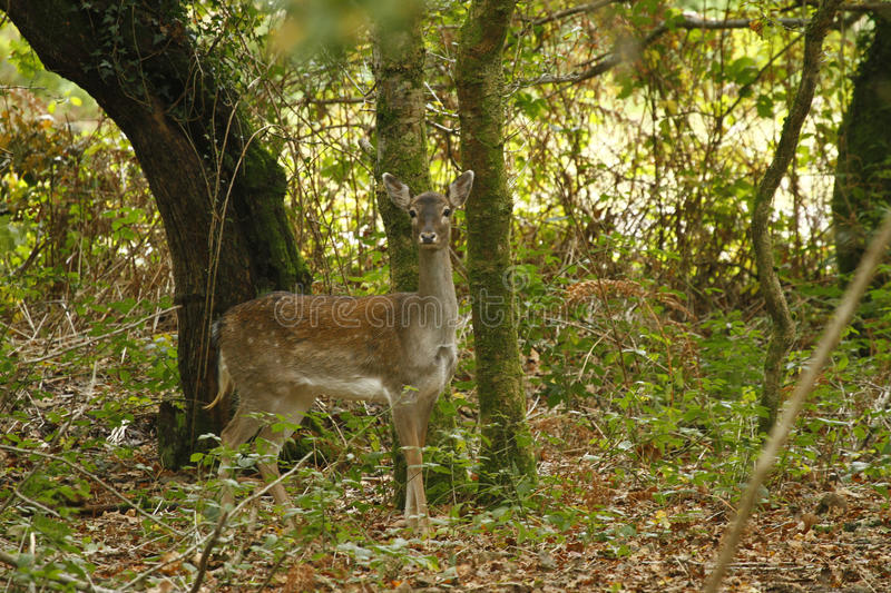 Download Woodland Deer Stock Photography - Image: 20126282