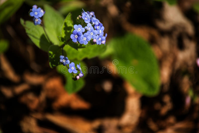 Woodland Forget-me-not - Myosotis sylvatica stock images