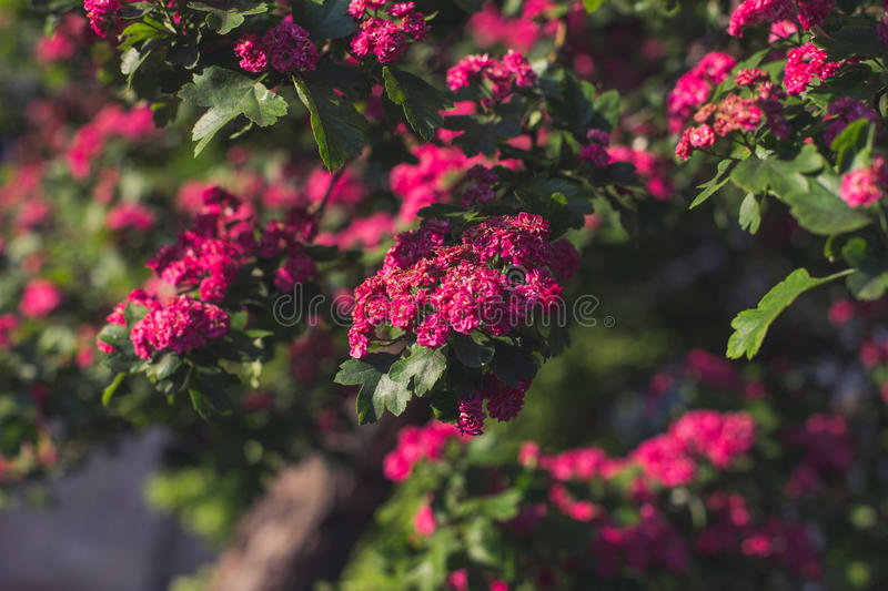 Woodland Hawthorn tree in spring royalty free stock photo