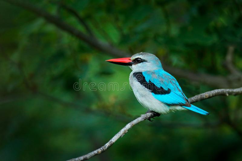 Woodland kingfisher, Halcyon senegalensis, detail of exotic African bird sitting on the branch in the green nature habitat, Moremi. Okavango, Botswana, Africa stock images