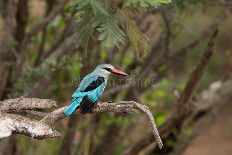Woodland kingfisher stock photos