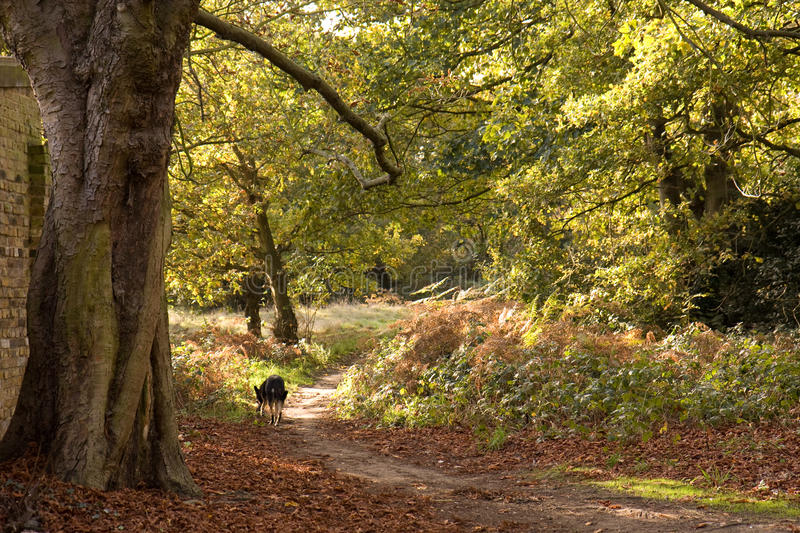 Download Woodland Path In Autumn Royalty Free Stock Images - Image: 11533839