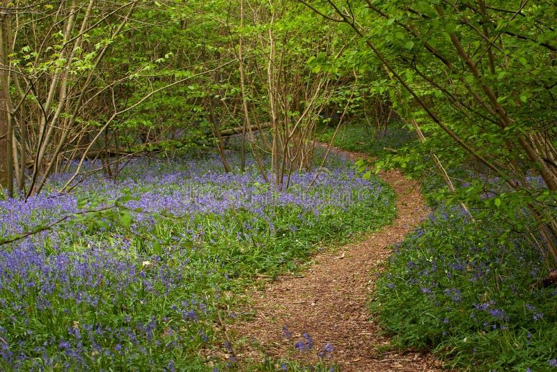 Woodland path through bluebells royalty free stock photos