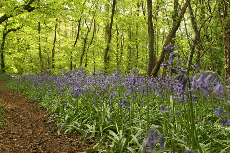 Woodland path with bluebells. Sunlight filters through the trees to show a woodland path lined with bluebells royalty free stock image