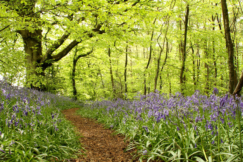 Woodland path with bluebells. Sunlight filters through the trees to show a woodland path lined with bluebells meandering into the distance royalty free stock photos