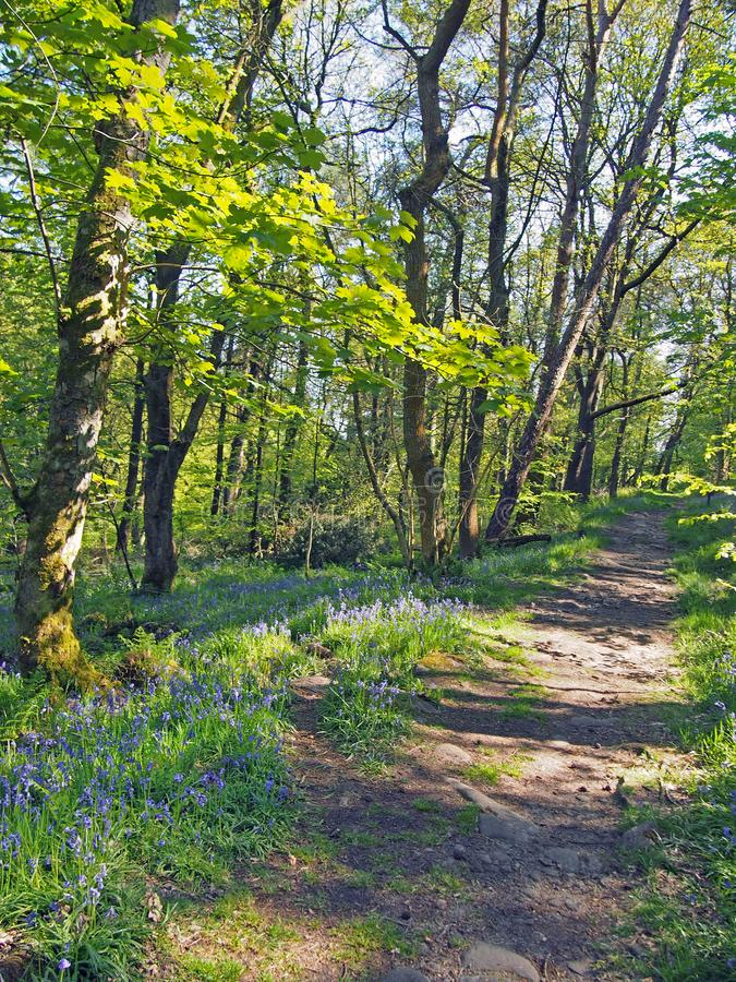 Woodland path running though a carpet of wild english bluebells and vibrant spring beech trees in bright sunlight royalty free stock photography