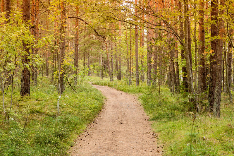 Woodland with path. Sunny summer pine woodland with path stock photos