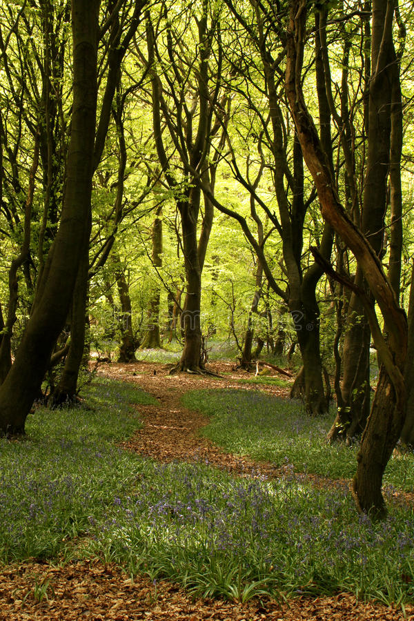 Woodland path with trees and bluebells. Sunlight filters through the trees to show a woodland path lined with bright bluebells and dark forest trees leading into royalty free stock image
