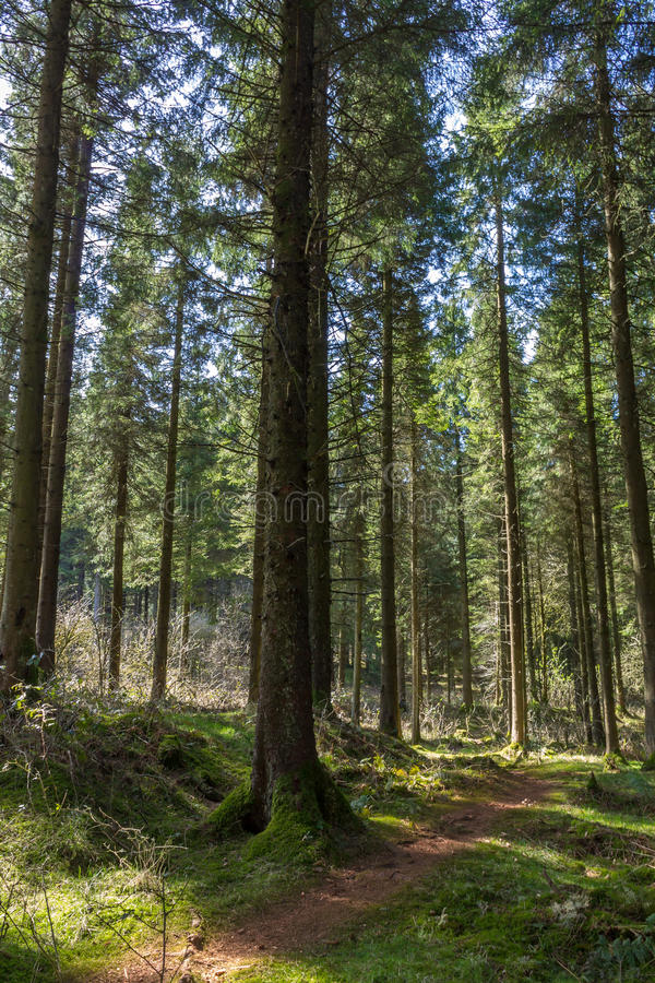 Woodland Path. Winding through a Pine woods stock photography