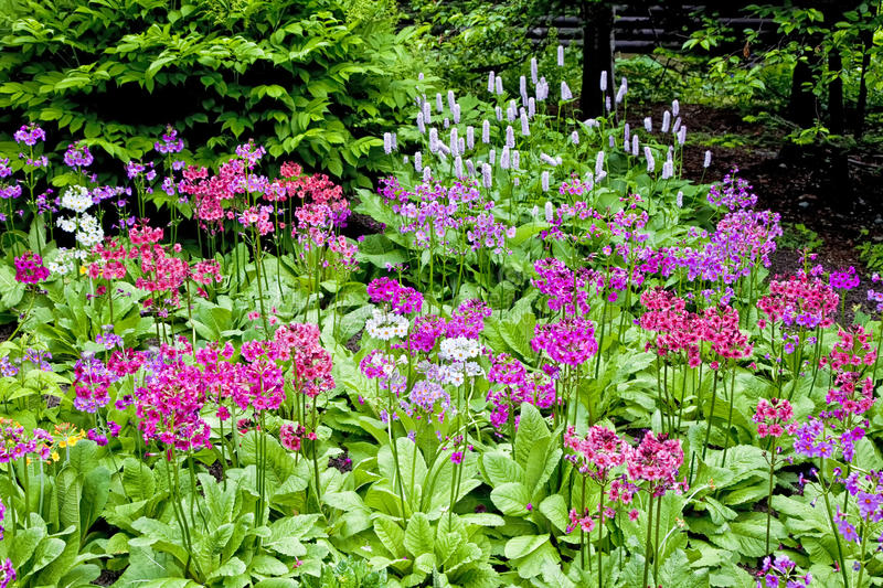 Download Woodland Primula stock photo. Image of color, pink, beauty - 26499448
