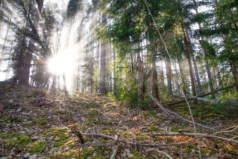 woodland Rayons du soleil for?t de pin photographie stock libre de droits
