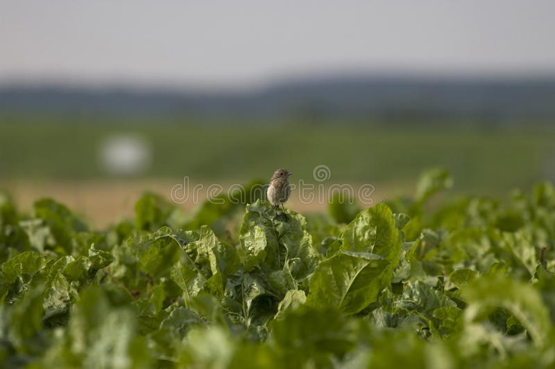 Download Woodlark Royalty Free Stock Images - Image: 27757869