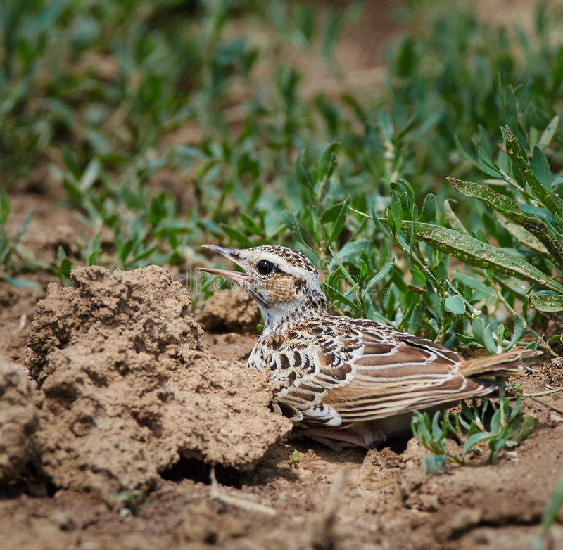 Woodlark on the ground. A woodlark song bird trying to camouflage itself on the ground stock images