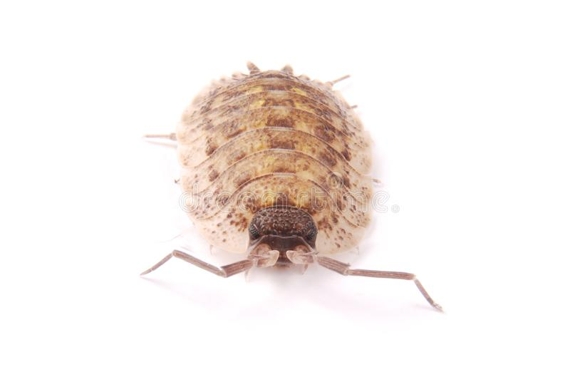 Woodlice Porcellio scaber isolated. Close up view of a common woodlice Porcellio scaber from the front isolated on a white background with soft shadow stock photo