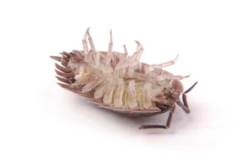 Woodlice Porcellio scaber isolated. Close up view of a common woodlice Porcellio scaber from the front isolated on a white background with soft shadow stock images