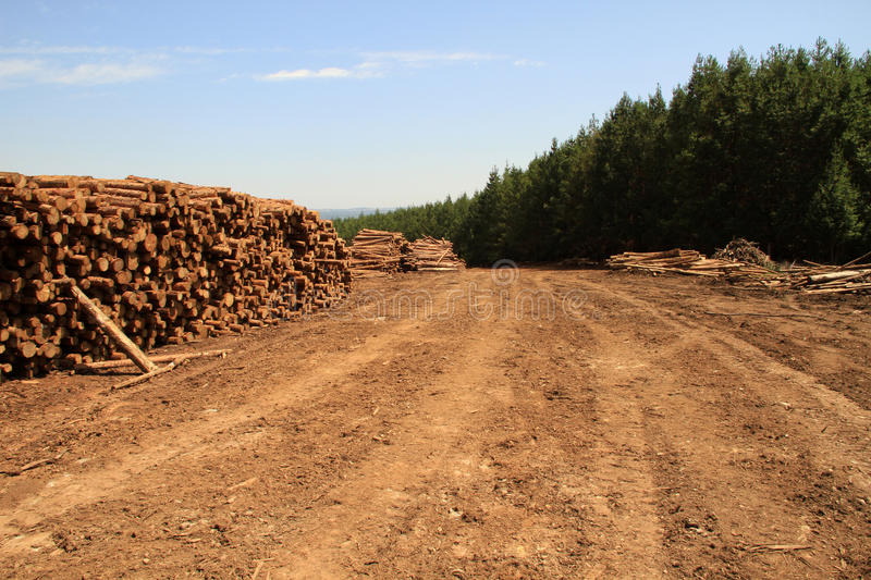 Woodlogs de pin dans la plantation photos stock