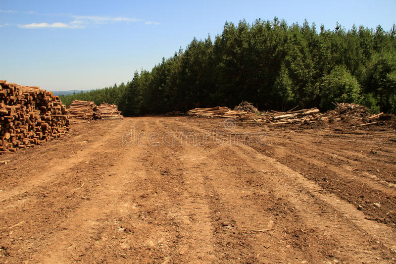Woodlogs de pin dans la plantation photo libre de droits
