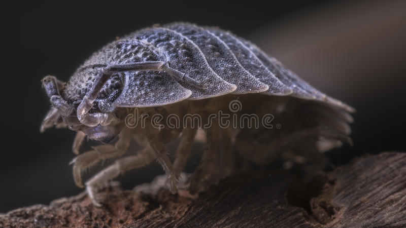 Woodlouse extreme close up royalty free stock photo