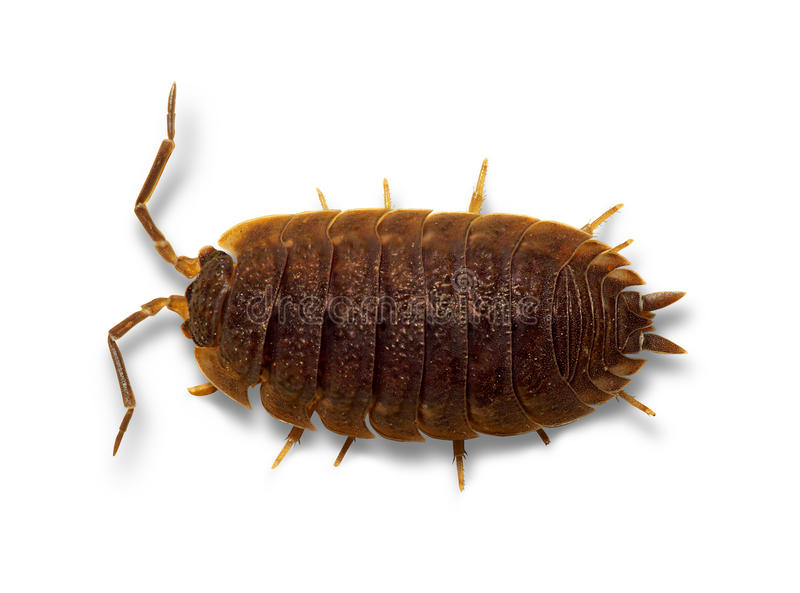 Download Woodlouse General stock image. Image of loathe, articles - 33192223