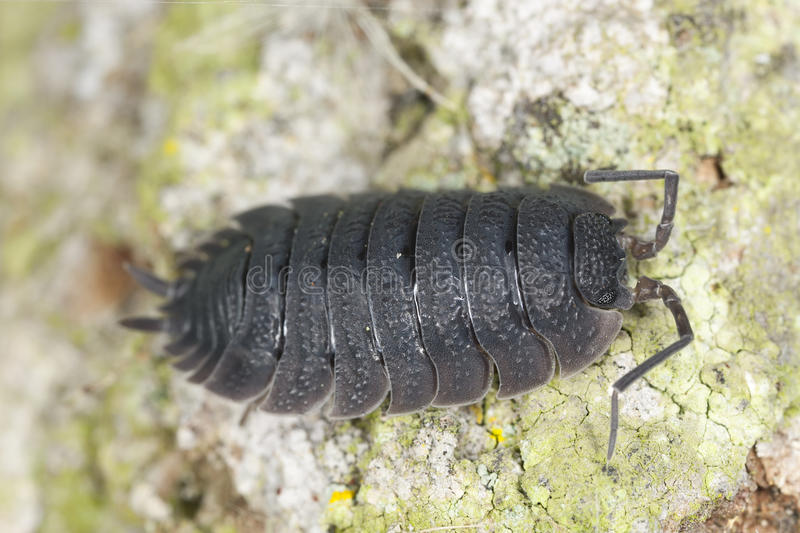 Woodlouse op houten, extreme close-up stock afbeeldingen