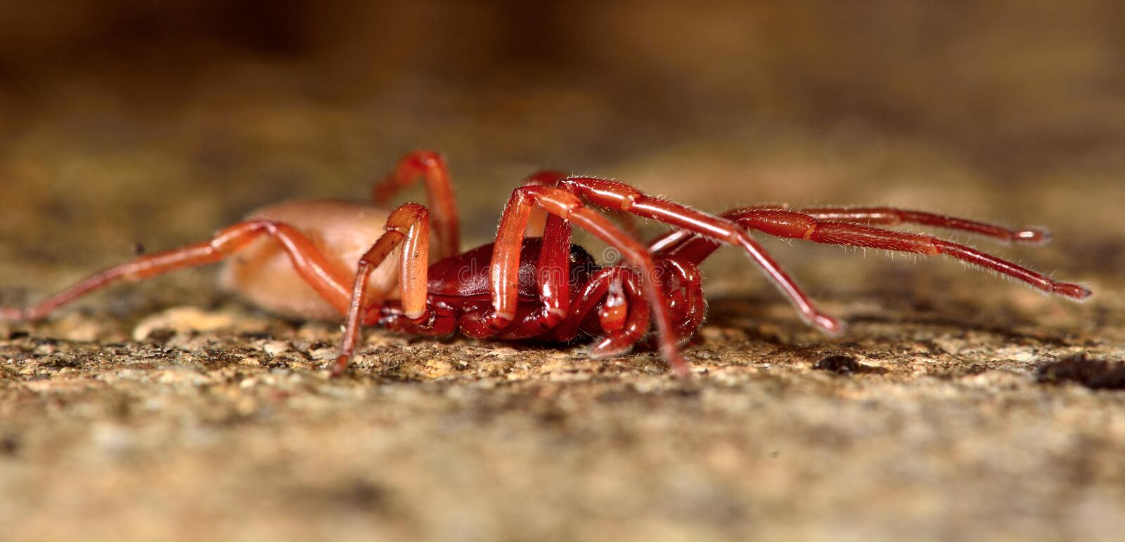 Woodlouse spider (Dysdera crocata) stretched out. A specialist woodlouse hunter in the family Dysderidae stock images