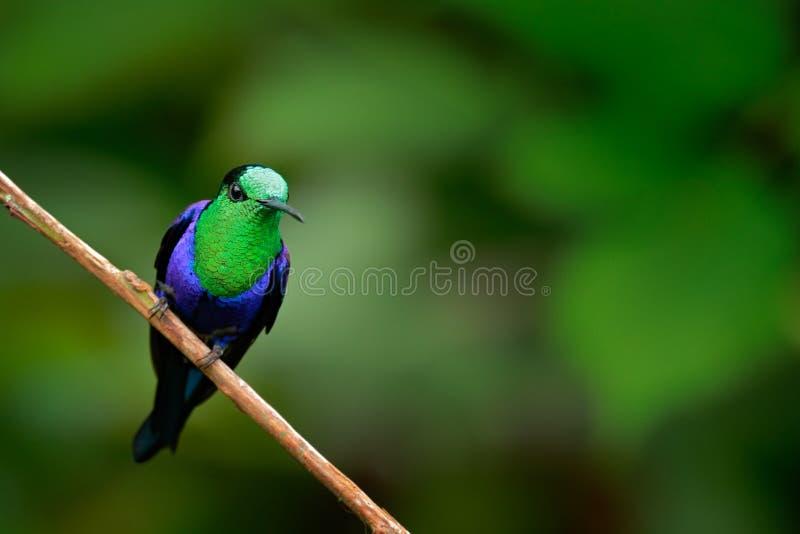 woodnymph Verde-incoronato, fannyi di colombica di Thalurania, colibrì nella foresta tropicale della Colombia, blu un uccello luc fotografia stock libera da diritti