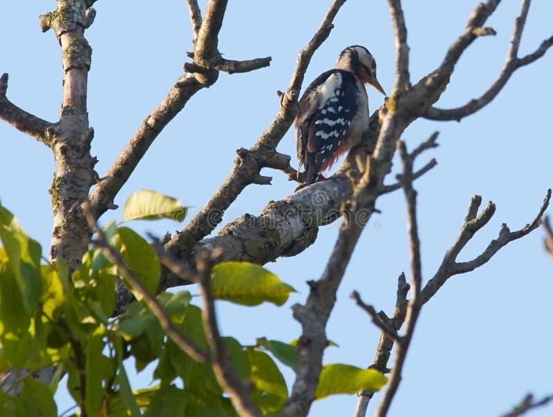 Woodpecker в дереве грецкого ореха стоковая фотография rf
