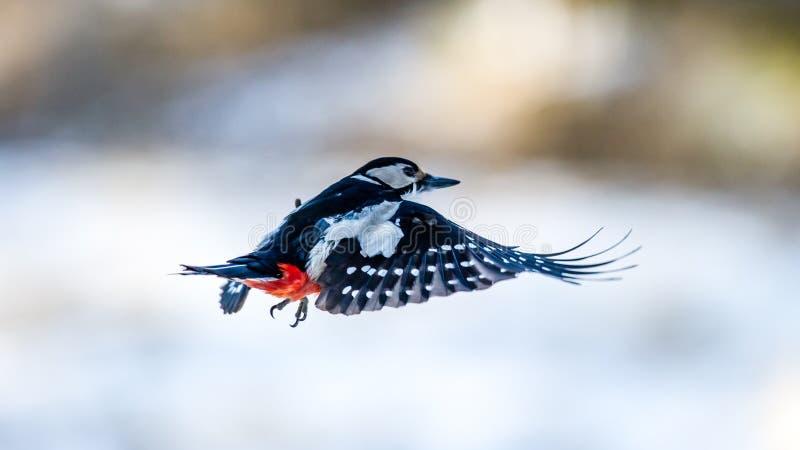 Woodpecker летания стоковые фотографии rf