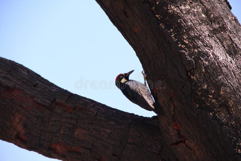woodpecker жолудя стоковое изображение rf