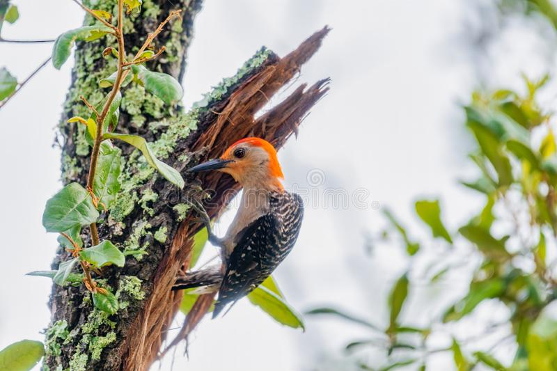 woodpecker стоковое фото