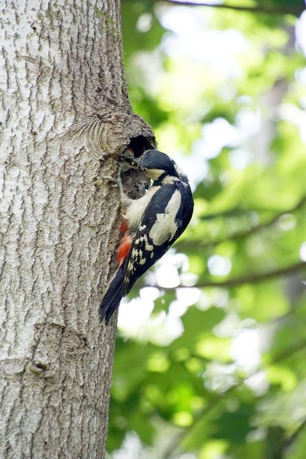 Woodpecker на его гнезде после подавать цыпленоки стоковая фотография rf