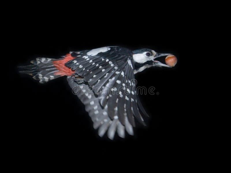 woodpecker полета большой запятнанный гайкой стоковое изображение rf